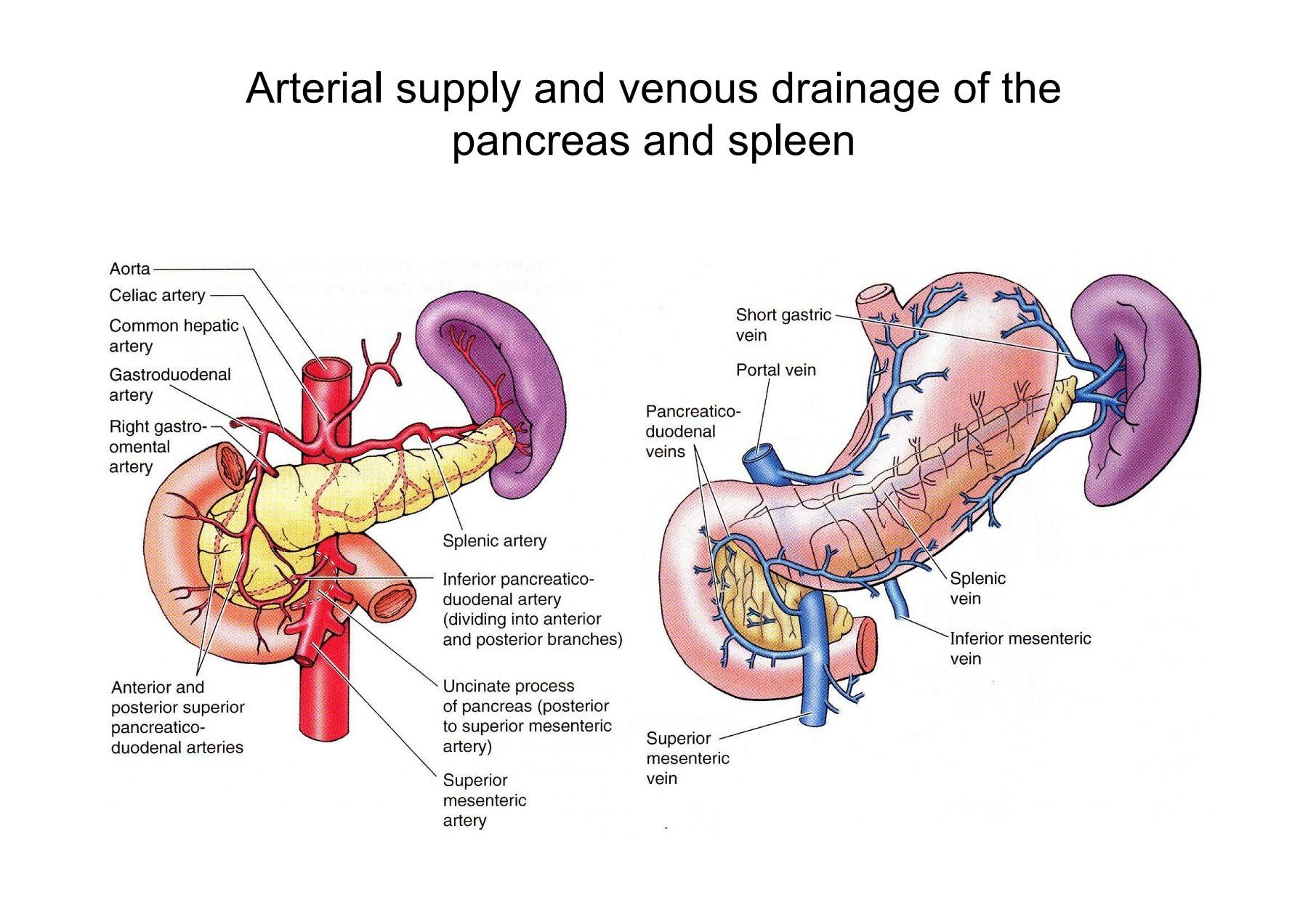 Anatomy of the Duodenum, Pancreas and Spleen | Focusky